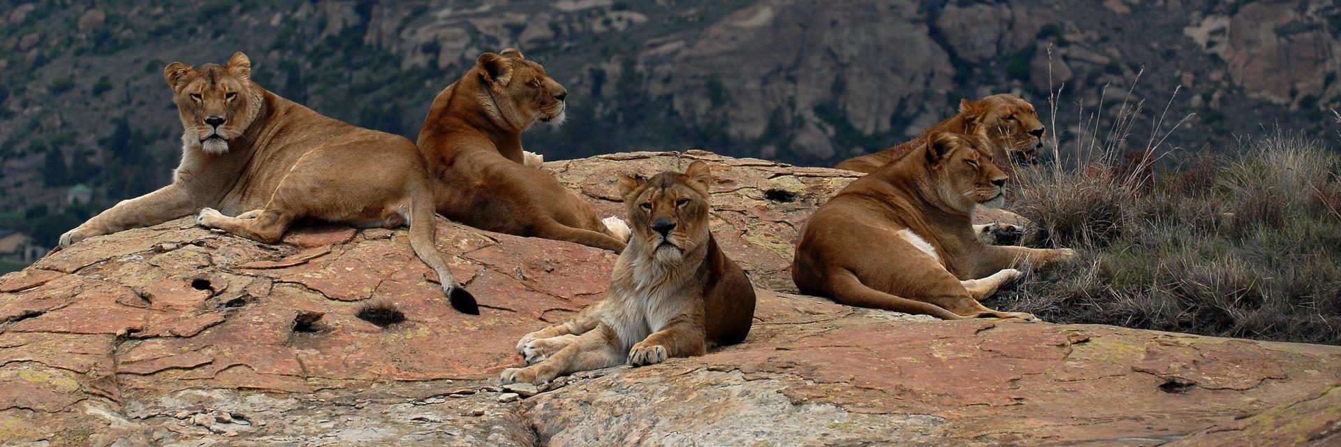 Leeuwinnen in LIONSROCK