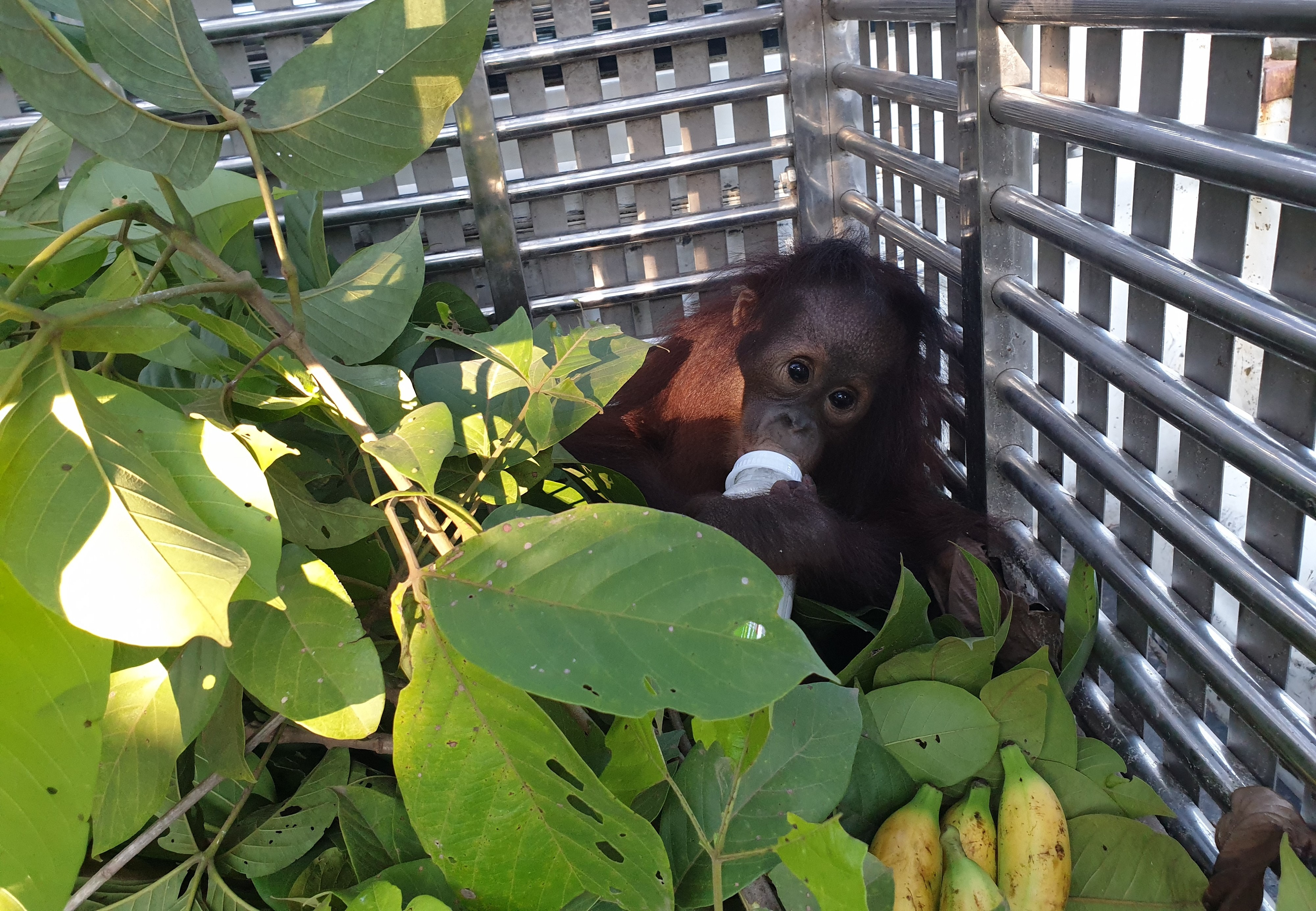 Orphaned orangutan rescued by FOUR PAWS