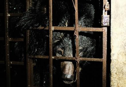 Bärin Mo im Käfig in Vietnam