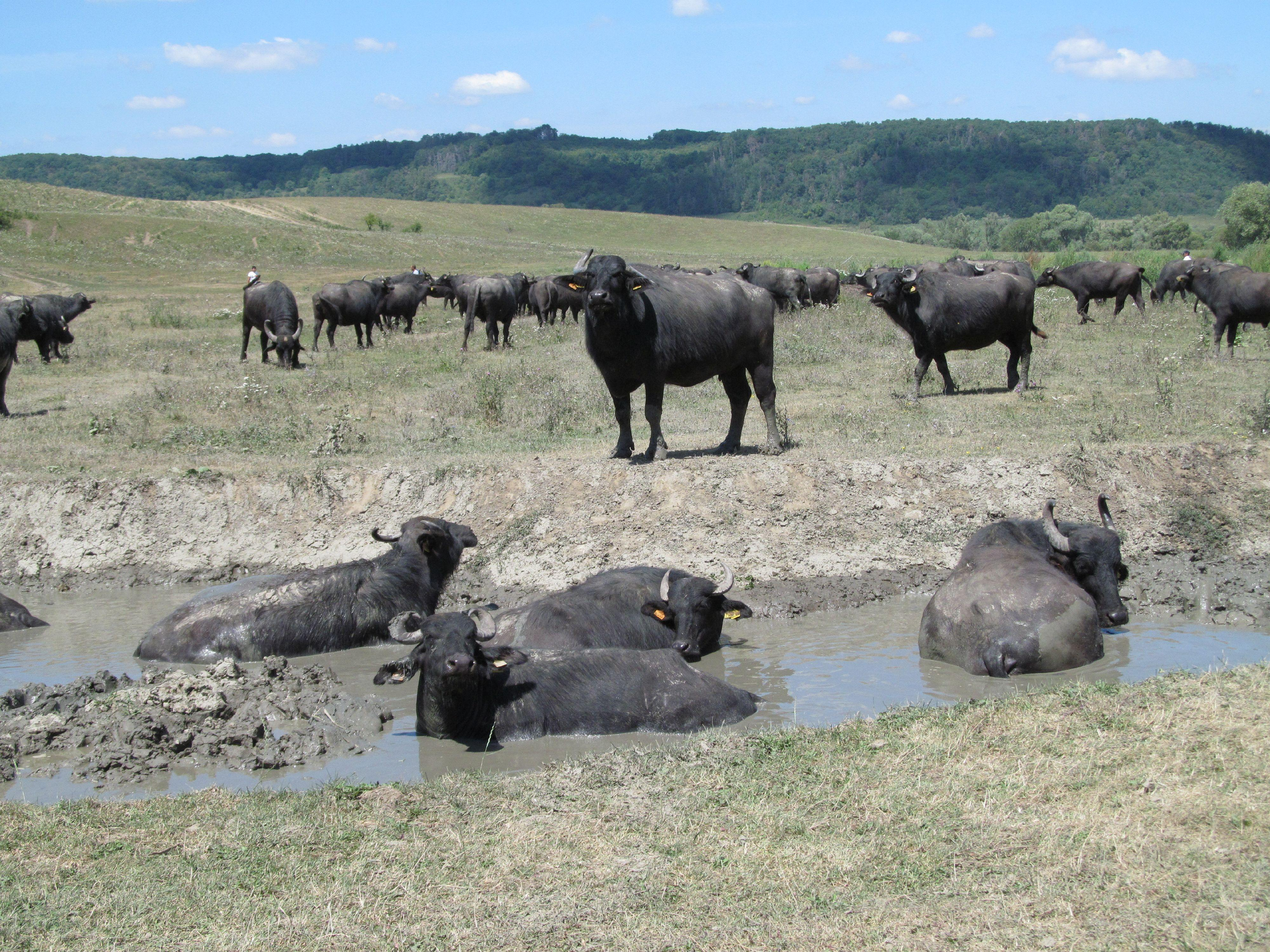 Buffalo need space to roam and available to water
