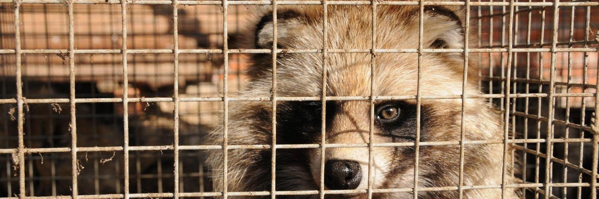 Cages minxes in a fur farr