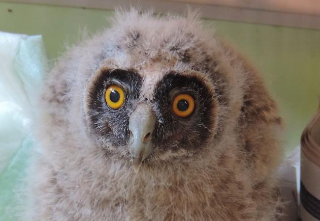 Recovered owlet