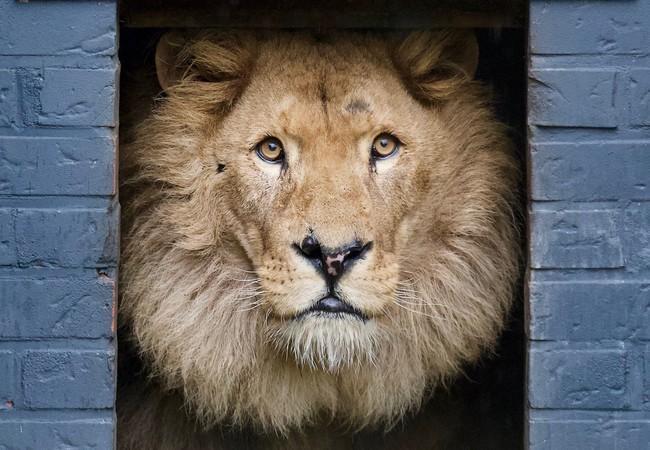 Lion Bobby looks outside