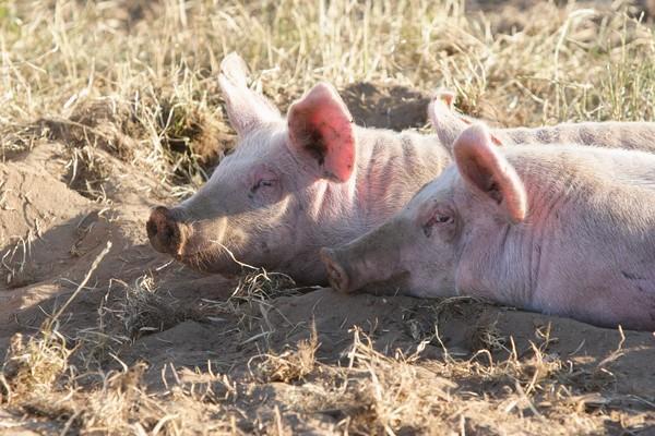 Schweine suhlen sich im sandigen Boden