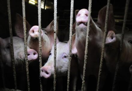 pigs in a cage