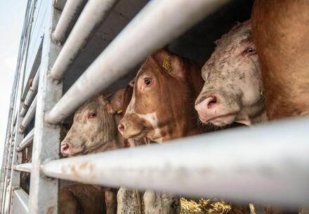 Calves in a Truck