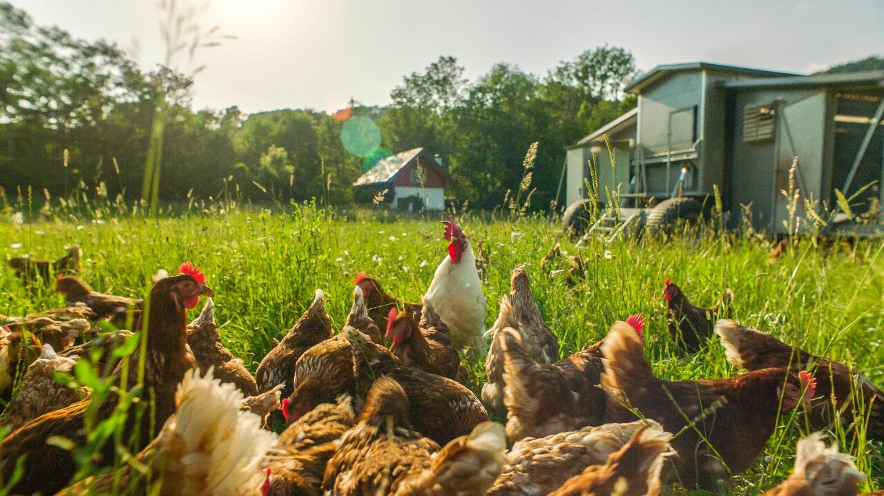 Wanderhühner im Gras