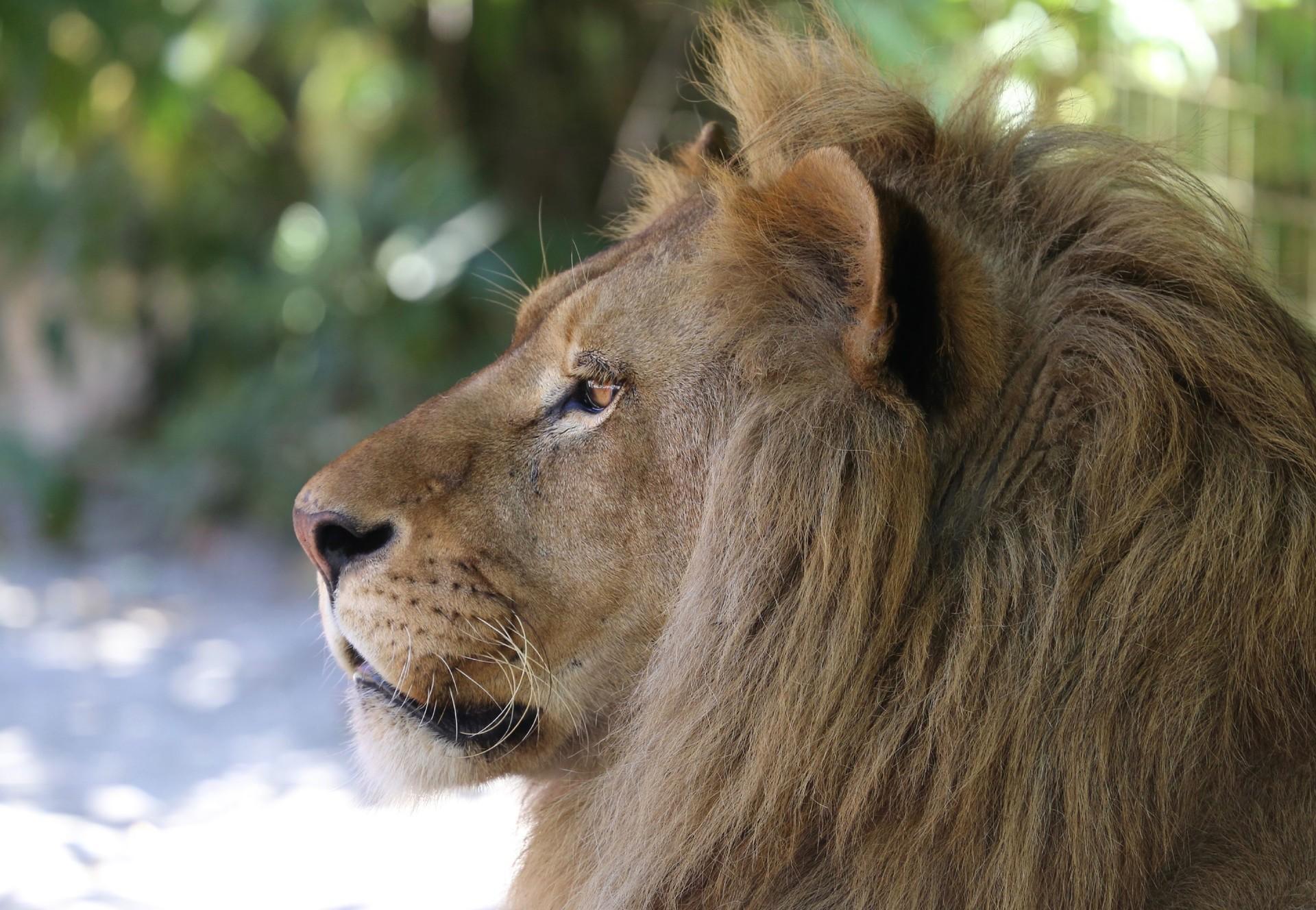 lion-blurry-background