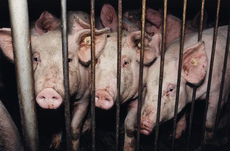 Schweine im Dunkeln hinter Gitterstäben
