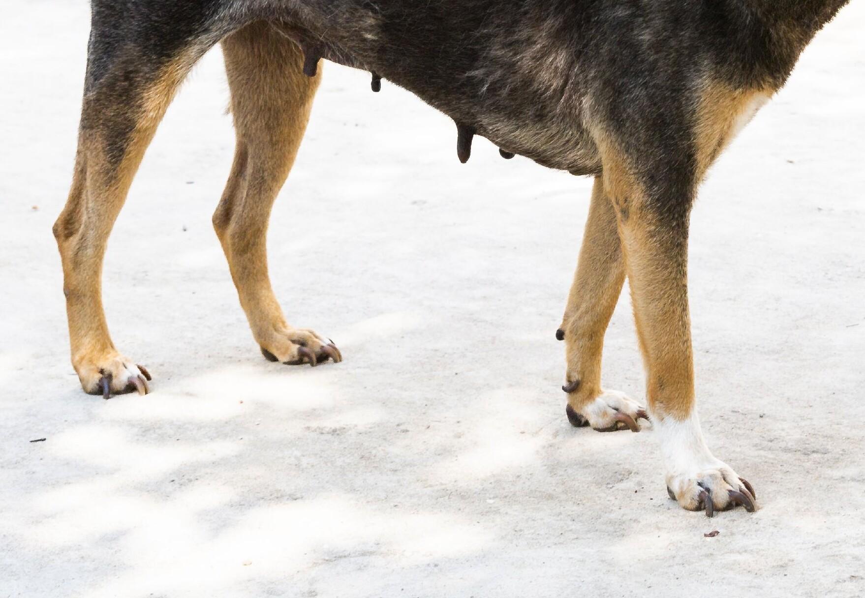 Hund in Vietnam