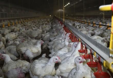Hühner auf einer Farm