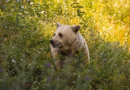 Bear Mira