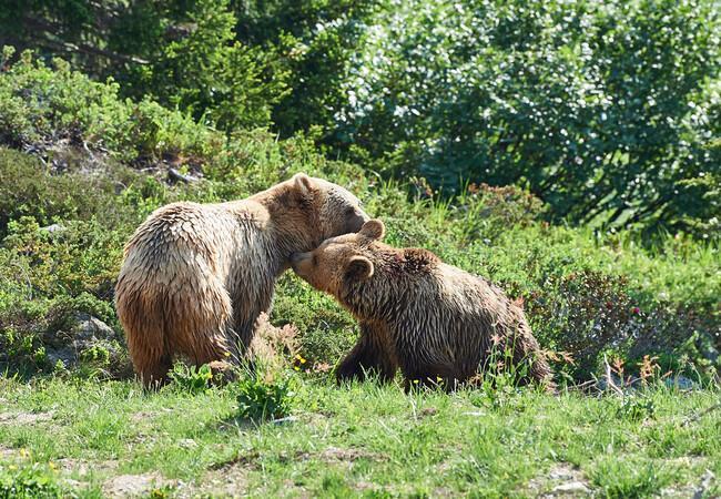 Die Bären Amelia und Napa lernen sich kennen im Arosa Bärenland