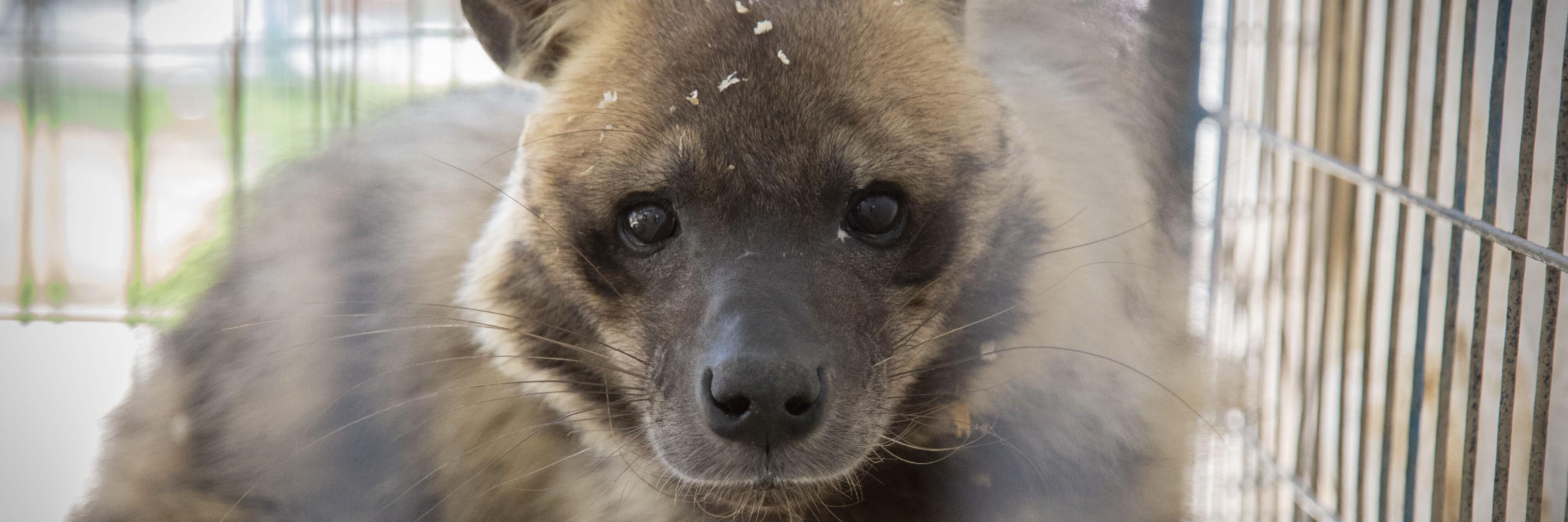Hyena in Rafah Zoo