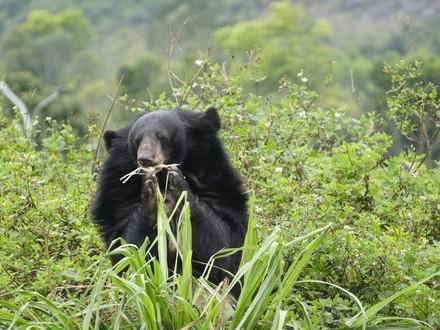 Asiatic black bear at BEAR SANCTUARY Ninh Binh