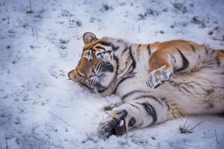 Tigerin Cara in der TIERART Wildtierstation