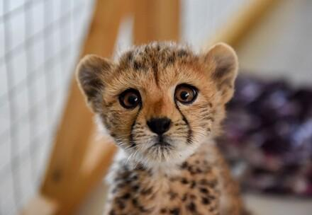 Gepardenjunges im Cheetah Conservation Fund (CCF)