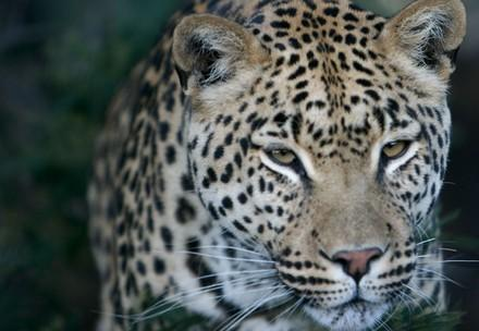 Leopard Thulani at LIONSROCK