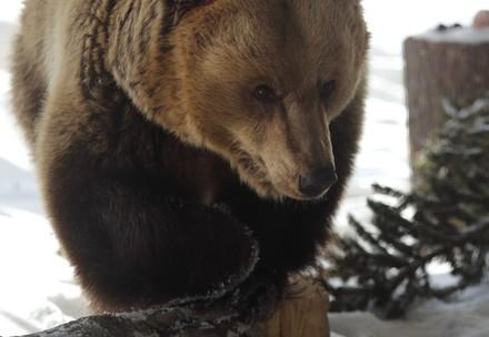 Bärin Amelia nach der Ankunft im Arosa Bärenland