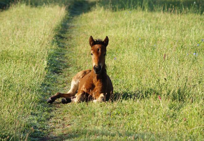 A young wild foal in Letea Region, Danube Delta