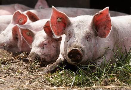 We help pigs
