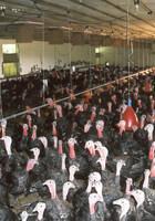 Masthuhn & Pute: Bewertung Tierwohlstandards