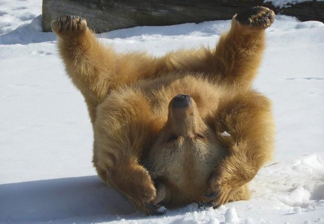 Bär Vinzenz tobt im Schnee
