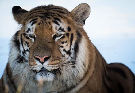 Tiger bei VIER PFOTEN