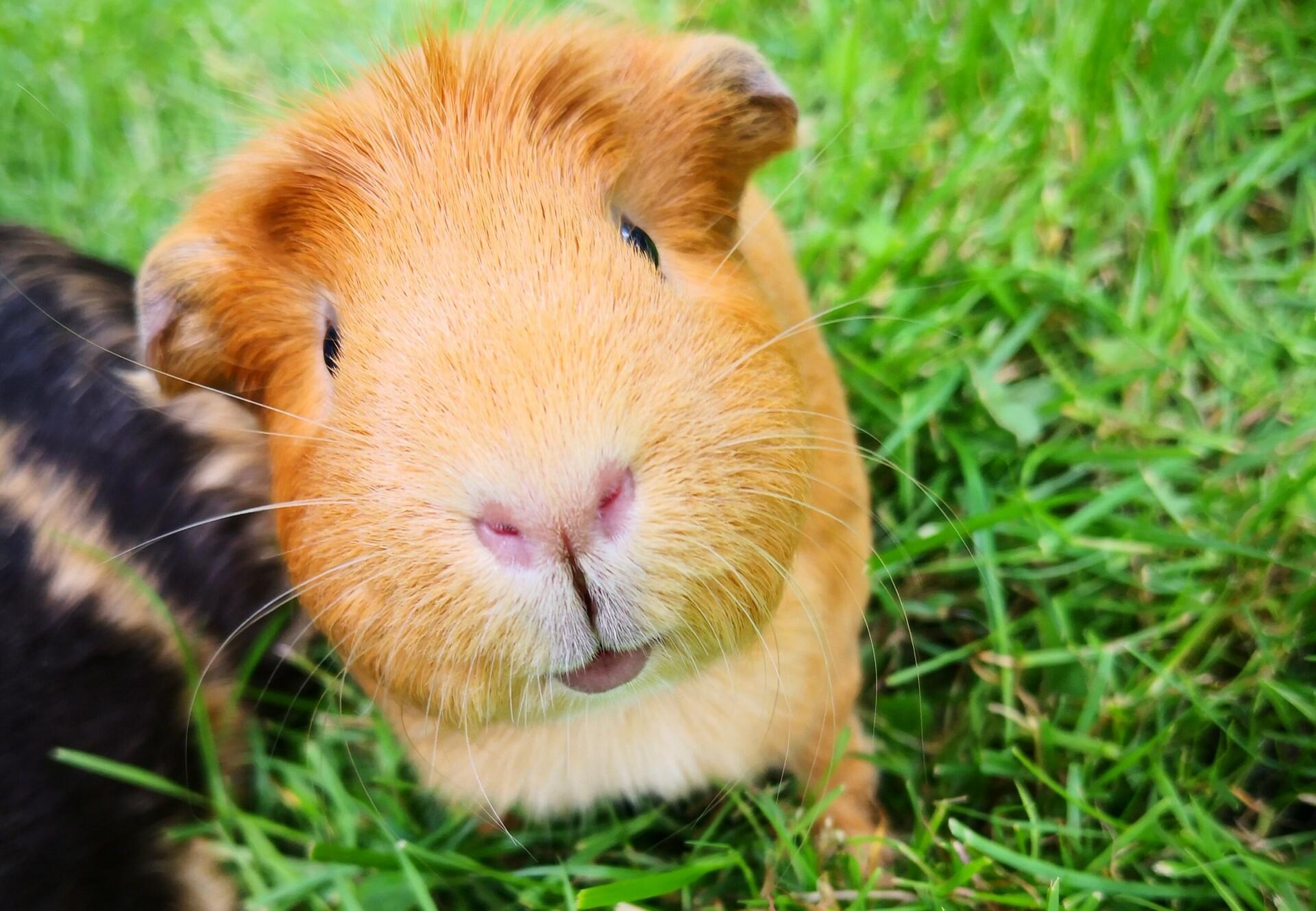 Quinea pig
