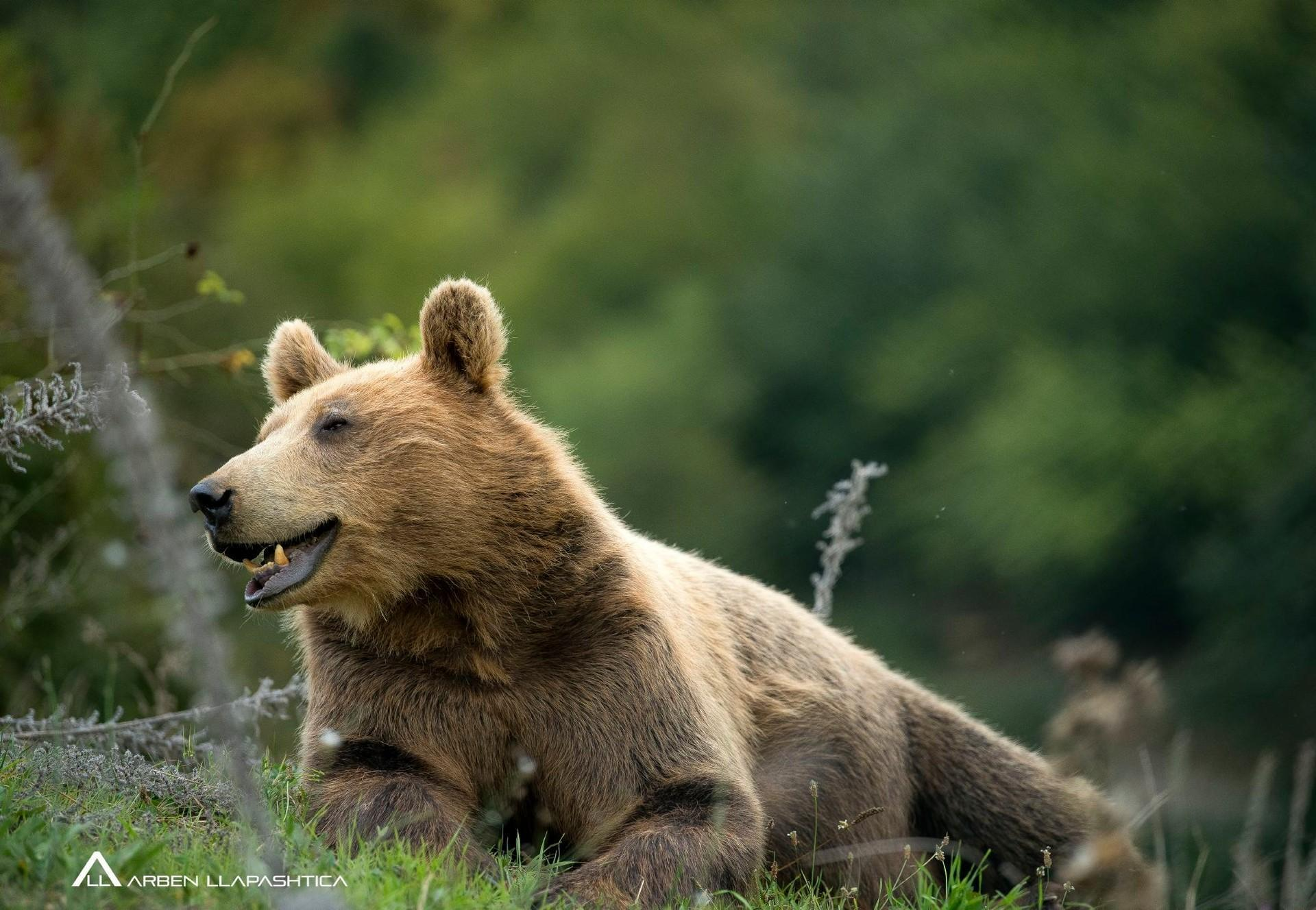 Brown bear Gjina in the grass