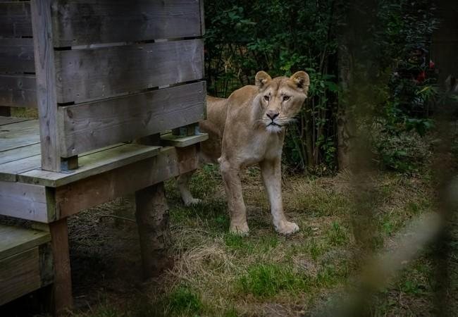 Löwe erkundet FELIDA