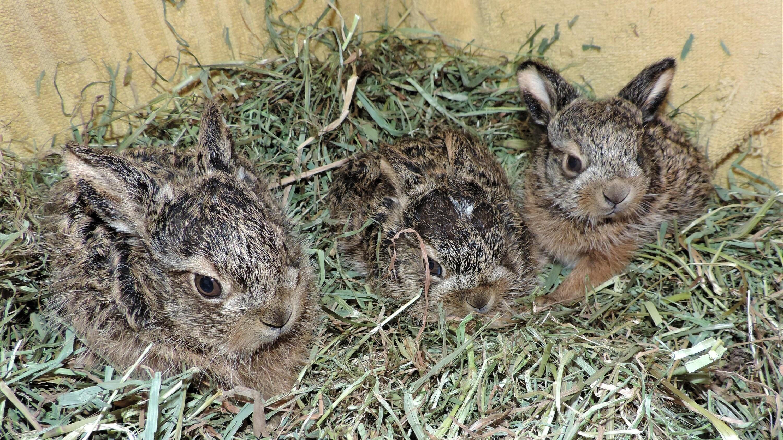 Drei gerettete Hasenjunge