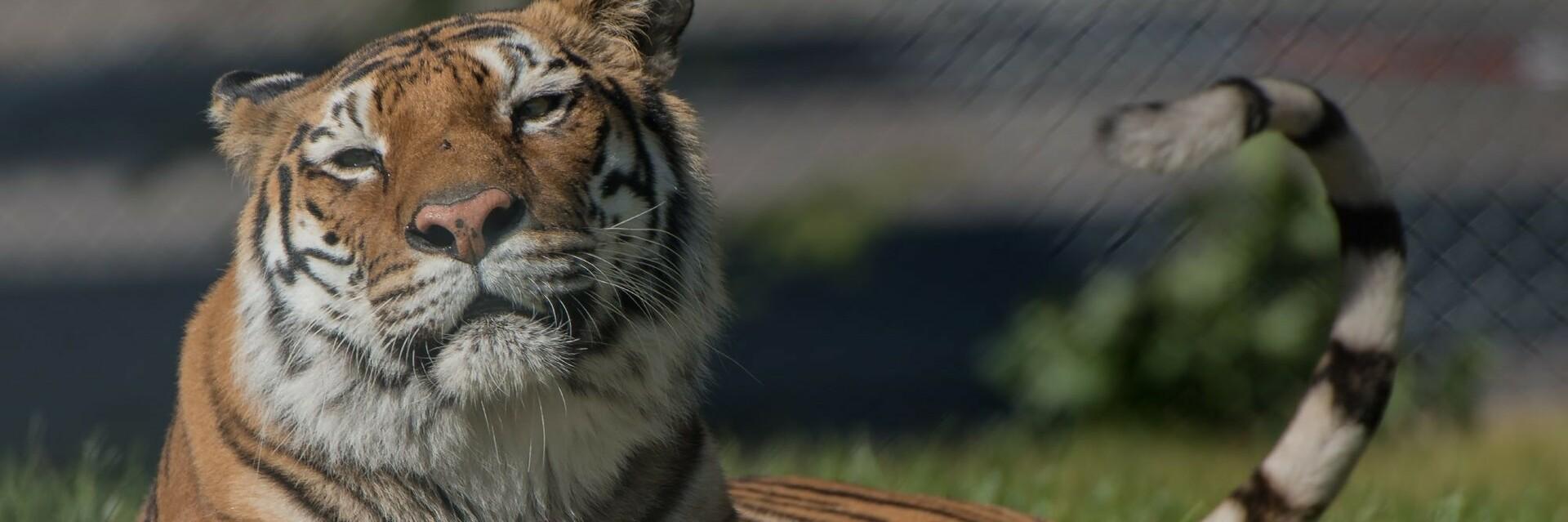 Tiger at TIERART