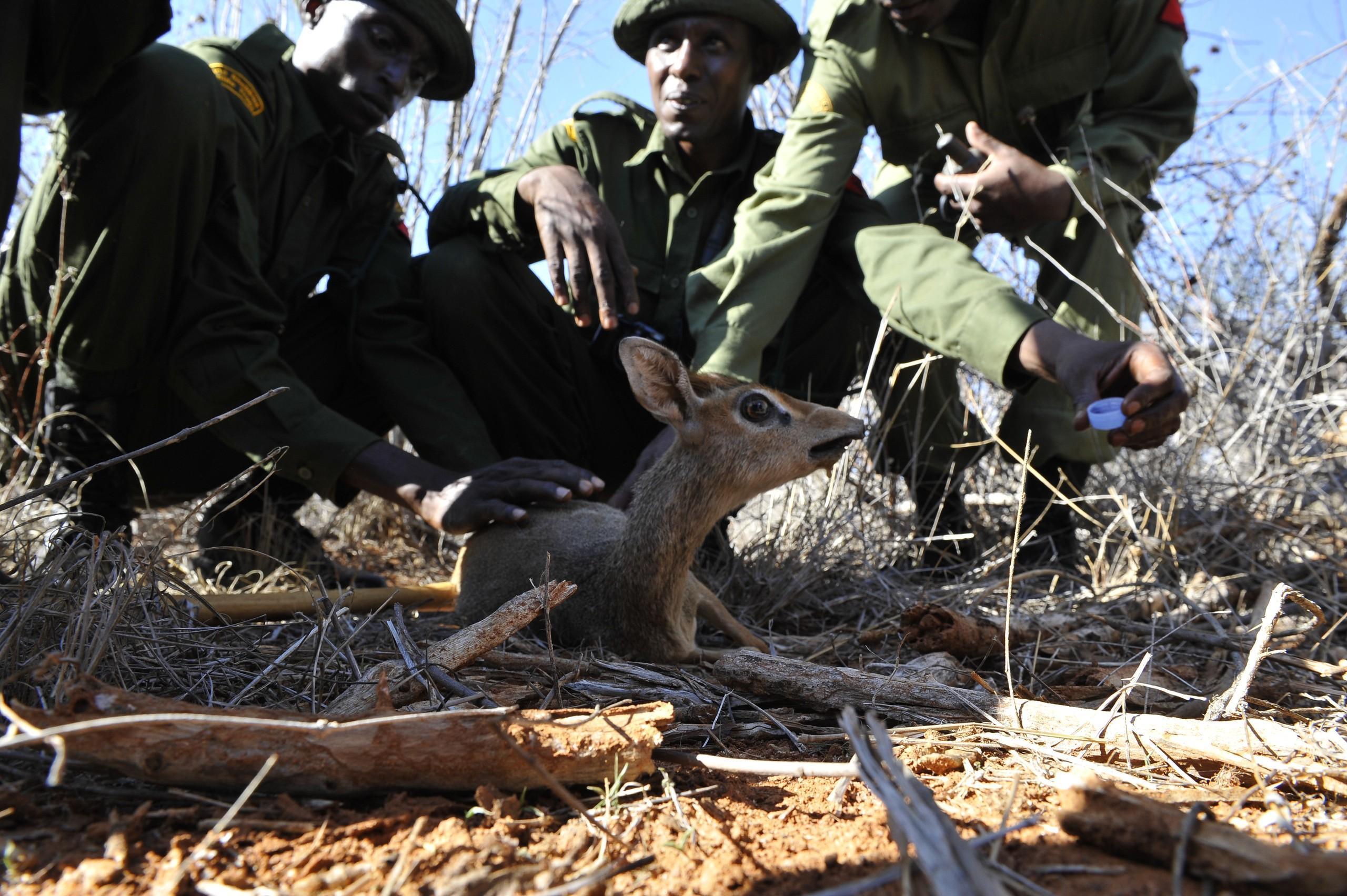 helping deers at Tsavo