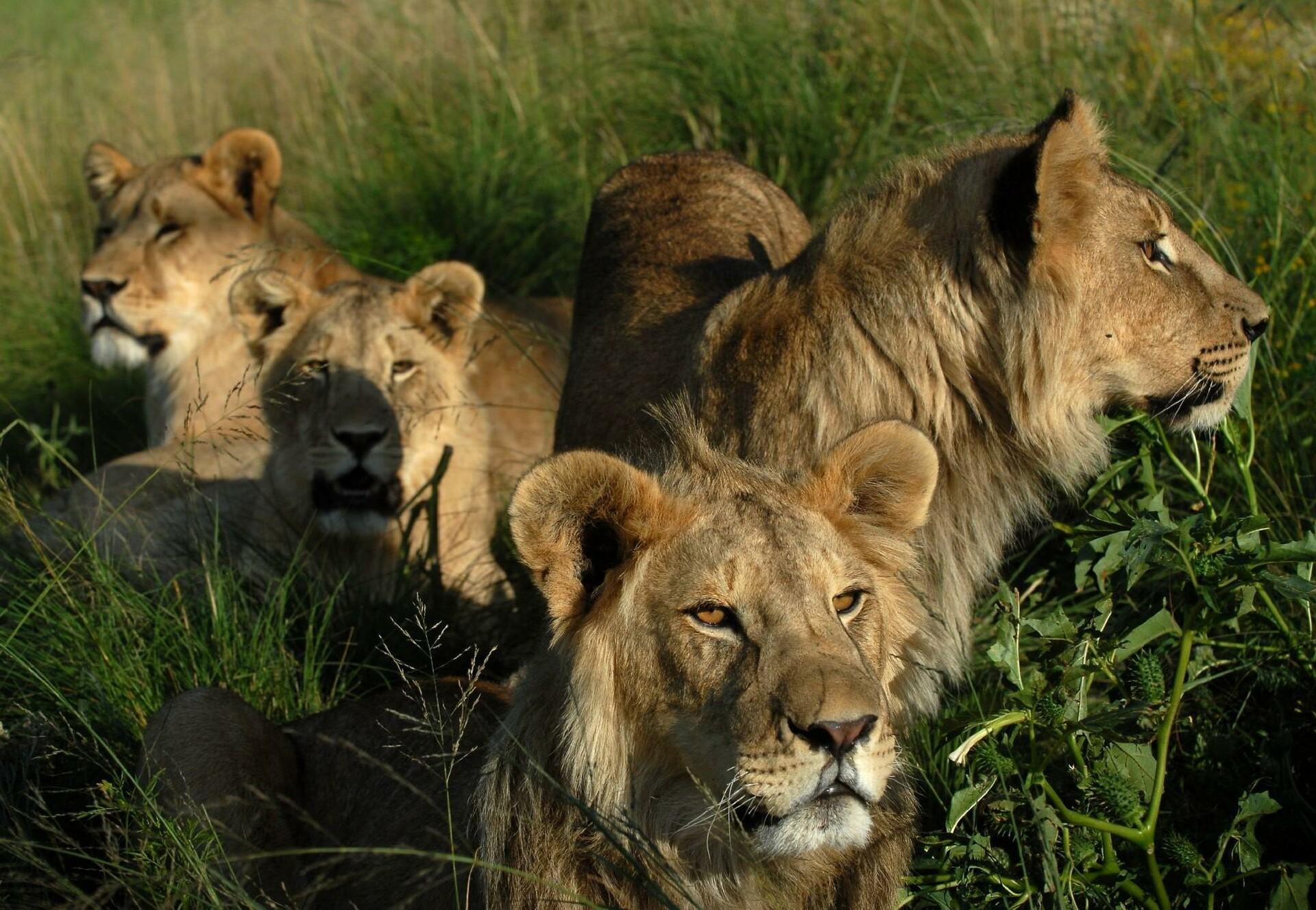 Zwei Löwen auf einer Wiese
