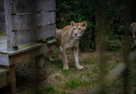 Seven rescued lions reach Dutch sanctuary after journey across Europe
