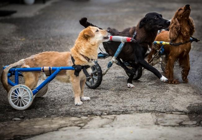 Dogs in wheelchairs at the Speranta Dog Shelter