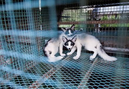 Füchse in eine Pelzfarm in Finnland