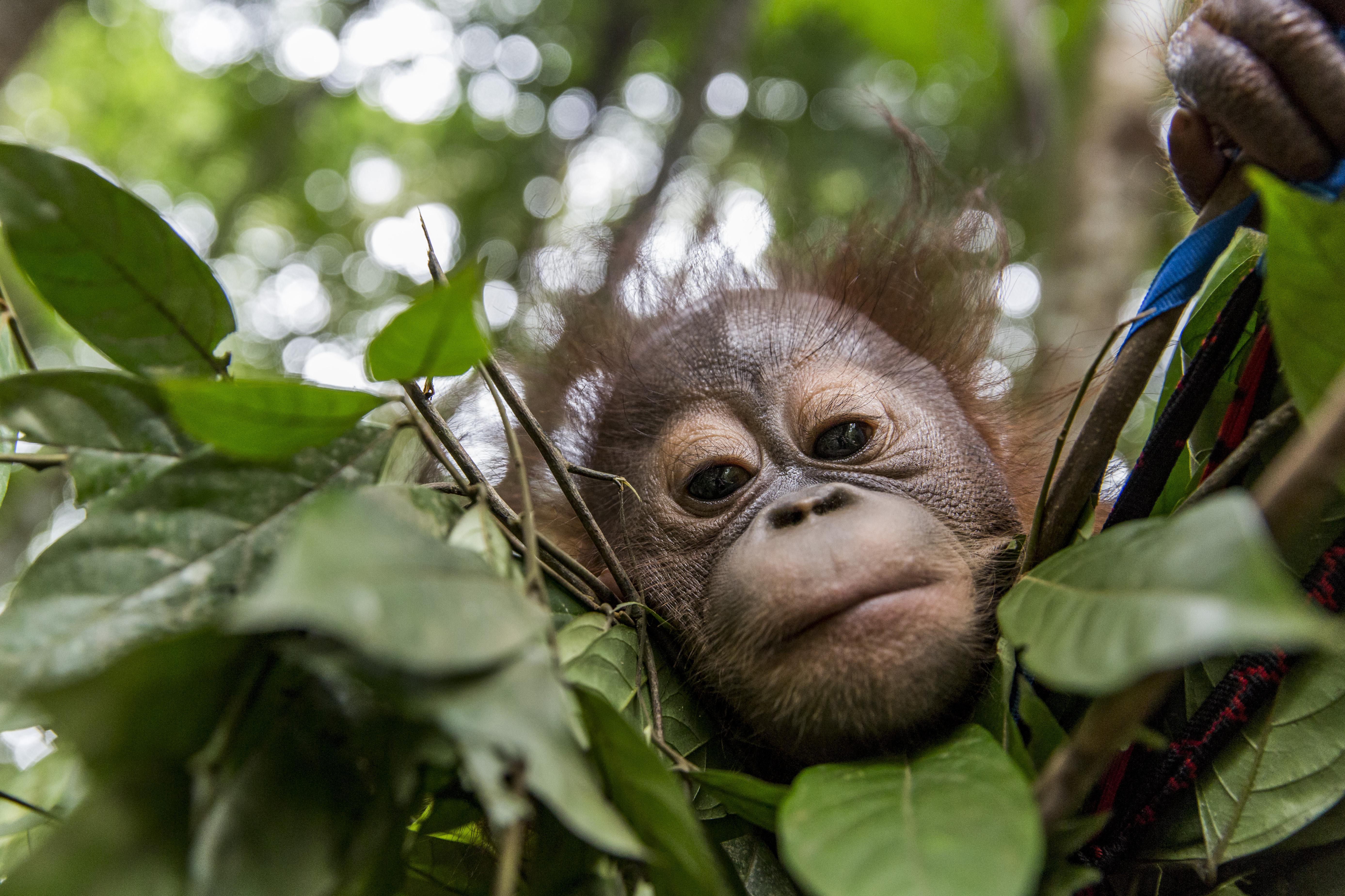 Orangutan in the leaves