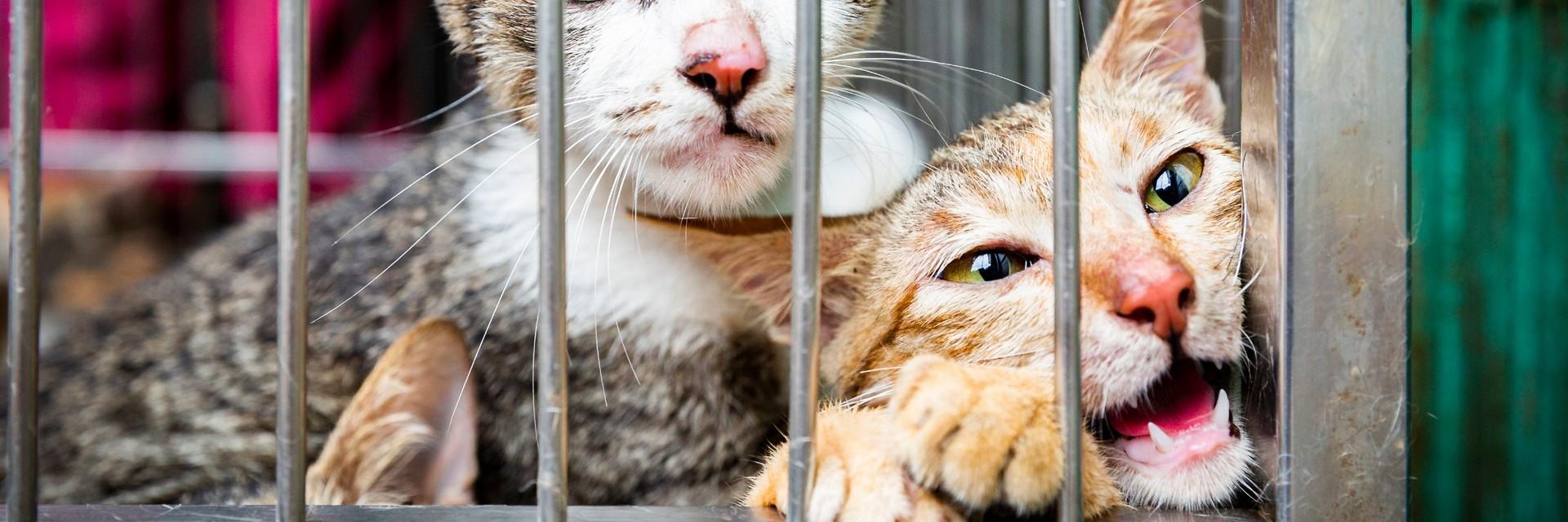 Deux chats dans une cage destiné à être consommés