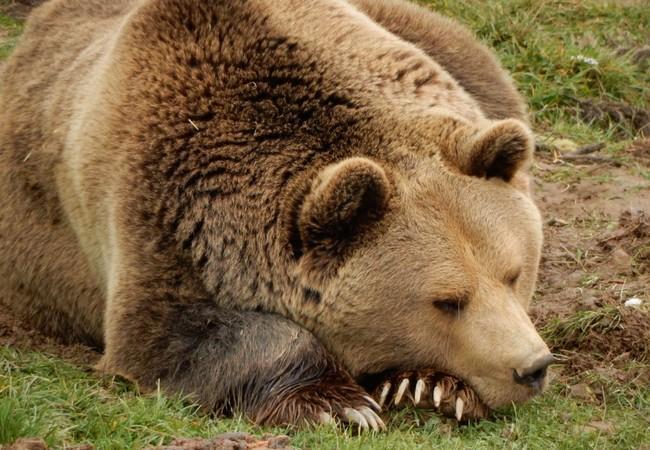 Bear Ari sleeping on the grass
