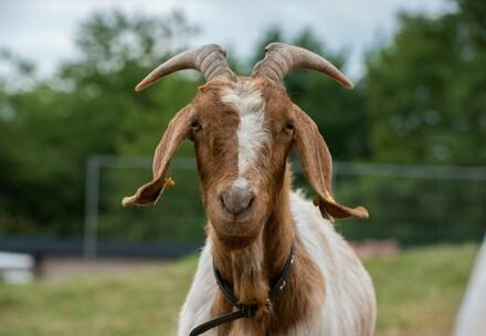 Rescues Goat Lotte at TIERART