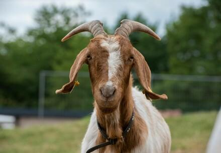 Rescues Goat Lotte at TIERART