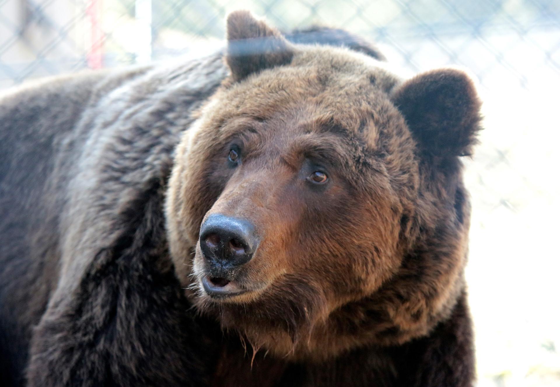 Bärin Laska im Bärenschutzzentrum Domazhyr in der Ukraine