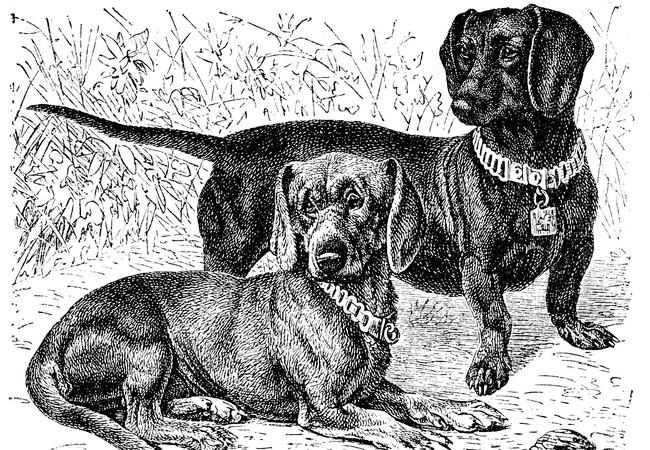 Drawing of Dachshunds, 1886