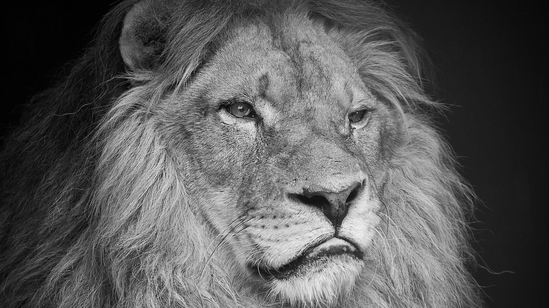 Löwe Lenci