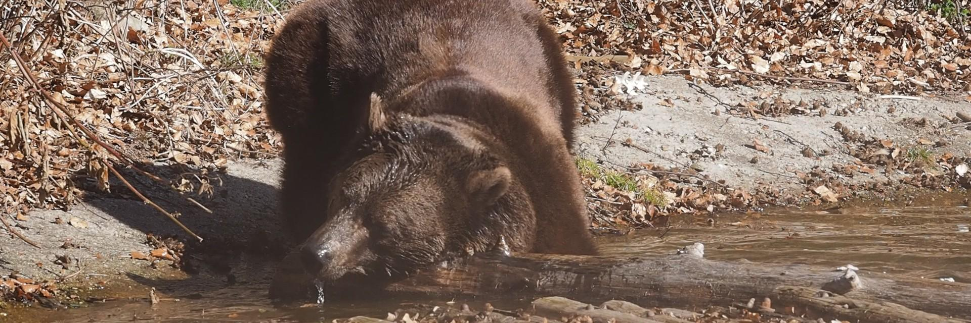 Brownbear Erich turns his head into the water