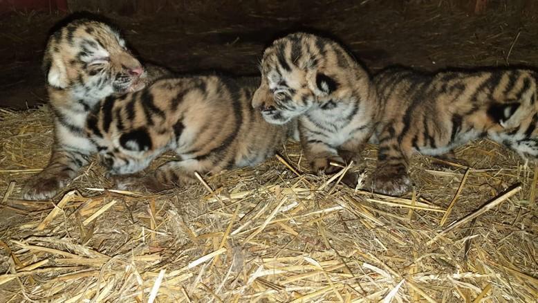 Tiger cubs in breeding farm