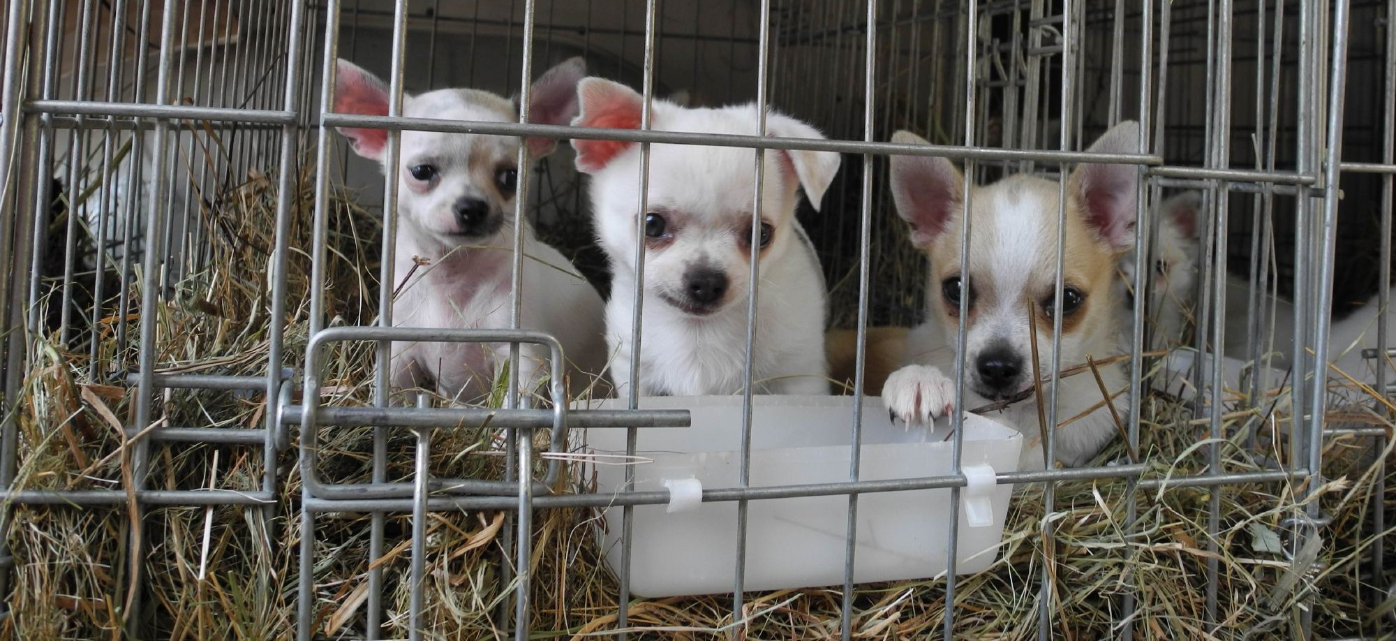 Puppies in puppy farms