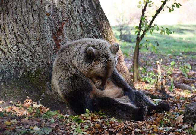 Brown rescue bear taking a nap on a tree at sanctuary